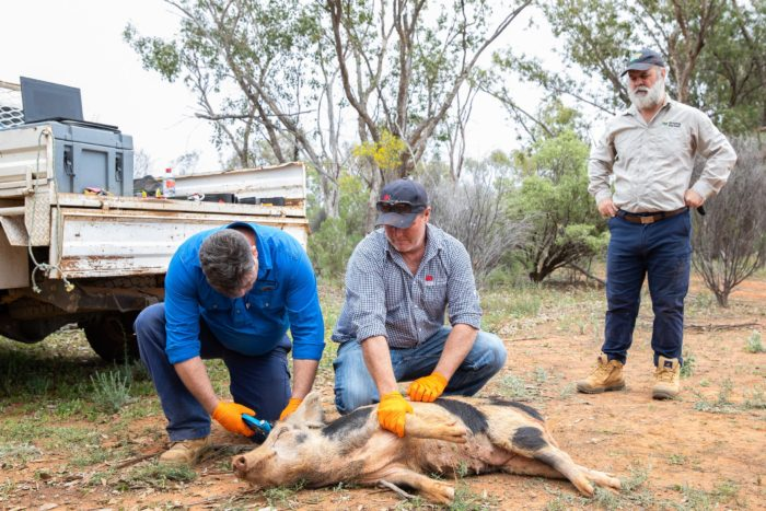 LOCAL FARMERS URGED TO JOIN FERAL FIGHTERS TILT AGAINST PEST PIGS